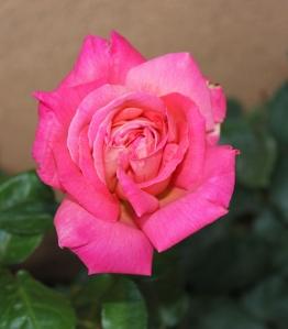 PINK ROSE WOW