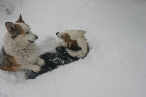 corgis:deep snow 2