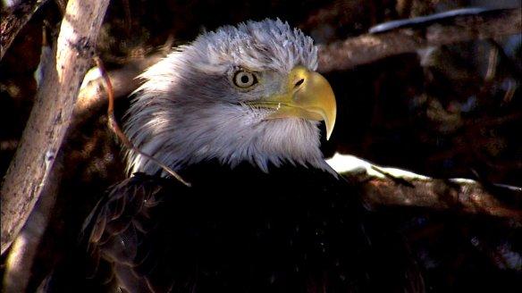 Eagle_still