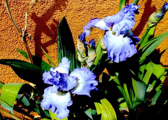 first iris may 16