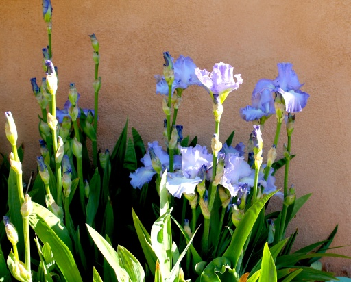 irises:sunlight.jpg