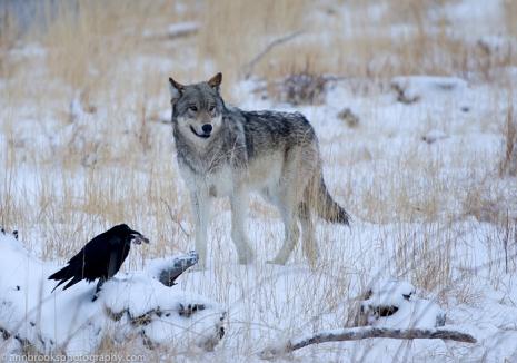 raven_wolf