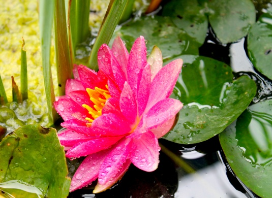 waterlilly lotus 2.jpg