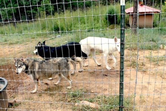 wolfdog-3-prowl
