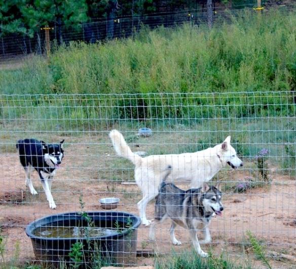 wolfdog-eve-all-3