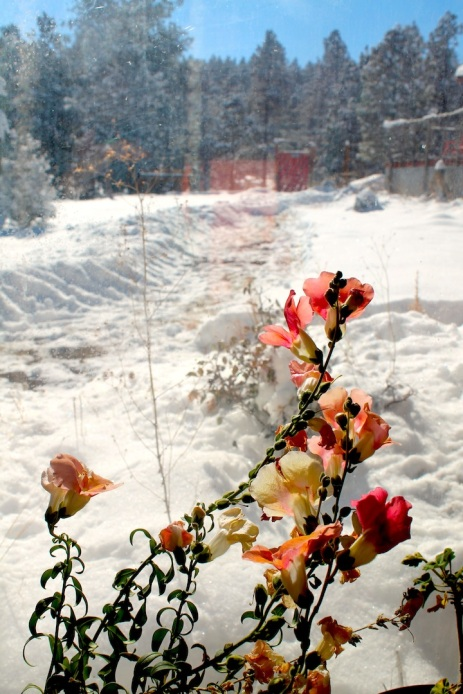snapdragons-against-snow