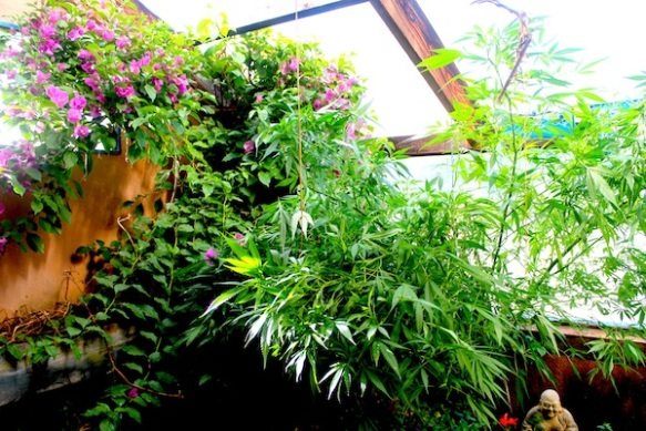 jody's huge plant