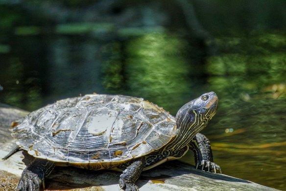 turtle_green