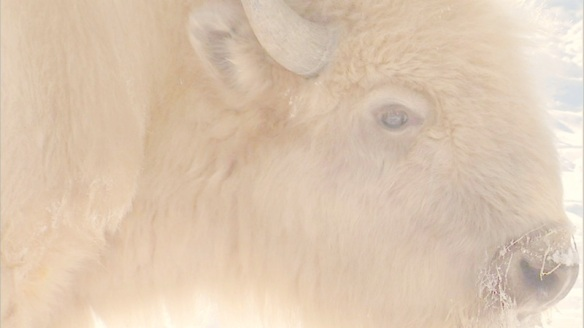 White_buffalo_2 copy