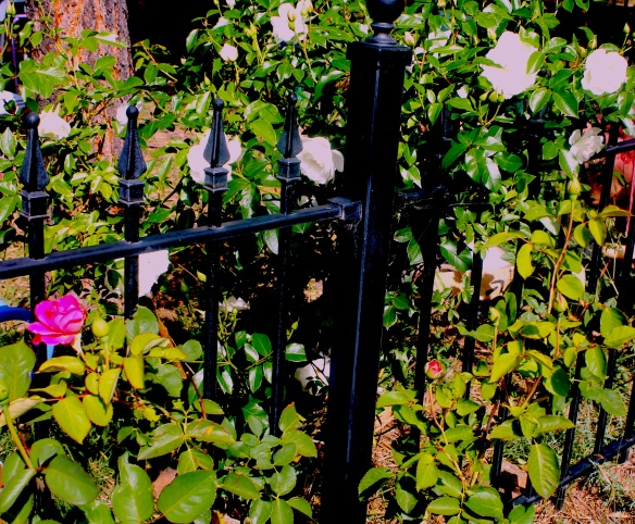 roses:fence